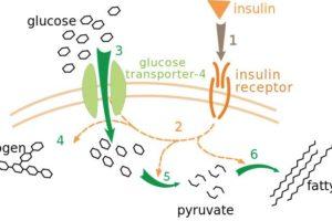 Metabolismo lento vs metabolismo veloce: le verità